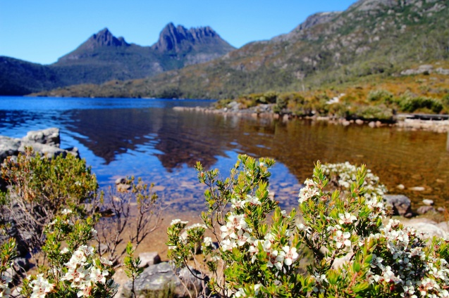Cradle lake at the base of Cradle mountain. The flower is melaluca (tea tree)
