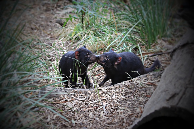 Tasmanian devils licking each others crumbs off