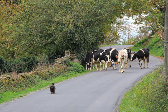 Just a little dog taking his cows for a walk