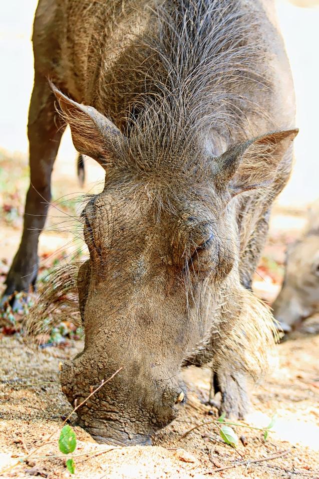 Mama warthog