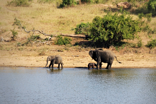 A herd of elephants in a watering hole