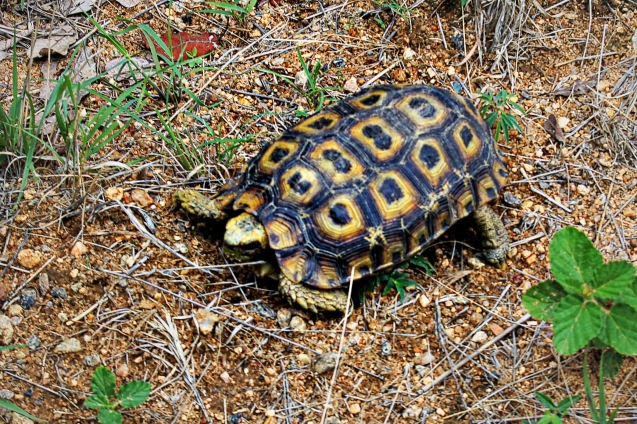 Leopard tortoise. One of the small 5