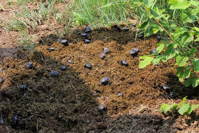 Dung beetles doing their job in poop