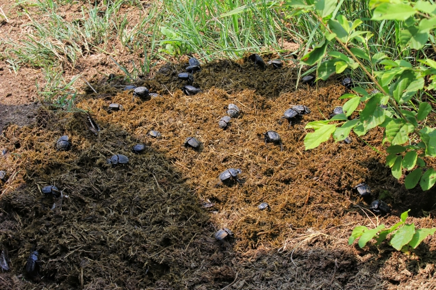 Dung beetles doing their job in poop