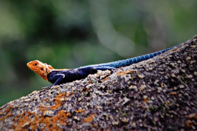 Lizard on a hot rock
