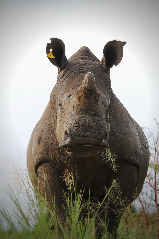Yet another rhino. I got SO many good shots, it was hard to choose.