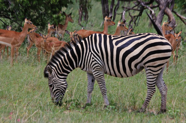 Zebras and impalas often hang out together as protection from predators