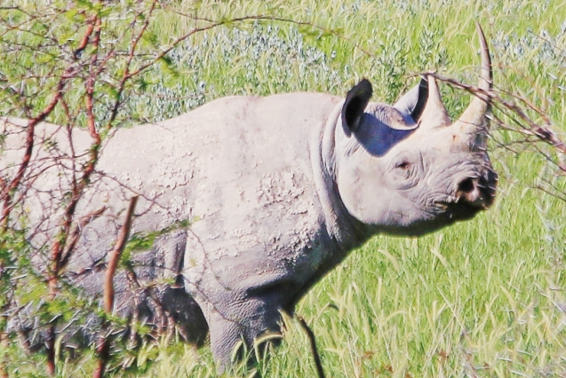 White (wide mouthed) rhino