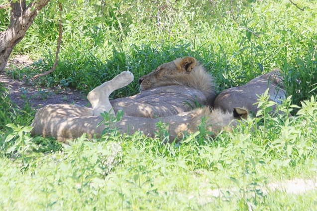 Snoozing lions. Check out the leg! LOL