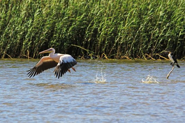 Skipping pelican
