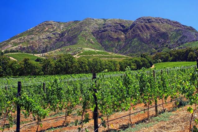 Groot Constantia vineyard