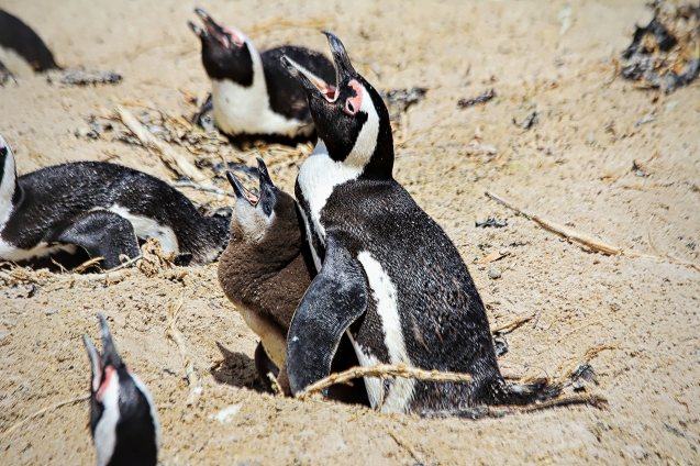 Jackass penguins. Apparently they sit with their mouths open to cool themselves?