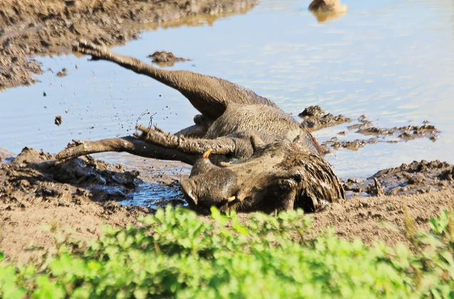 wart hog playing in the mud