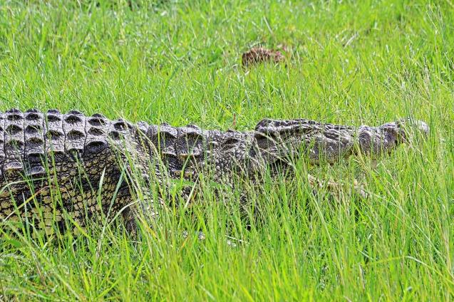 Crocodile regulating his body temperature