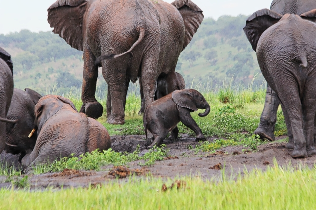 Baby elephant slipping in the mud