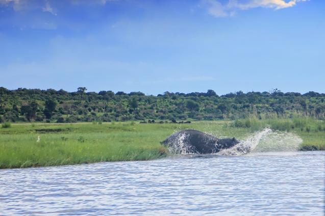 Hippo splash!