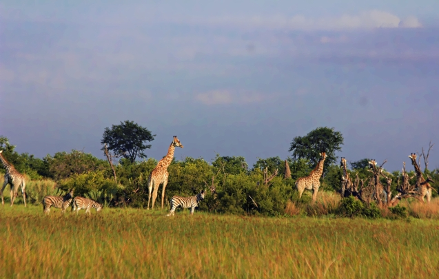 Giraffes are even more majestic when you see them while on foot.