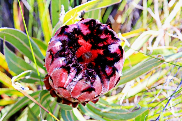 Protea. South Africa's national flower.