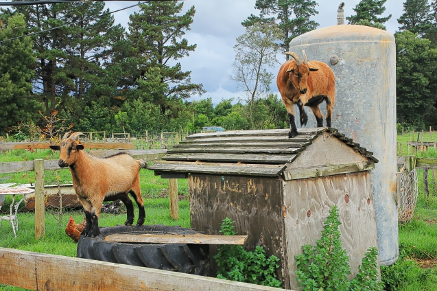 Goats being goats