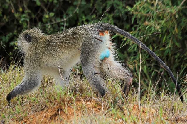 See why they call it the blue monkey?