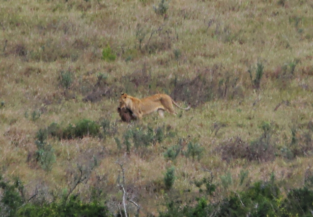Juvenile lion proudly displaying the wart hog he hunted all by himself.