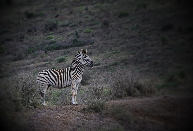 This zebra has spotted a lion but we can't find it.
