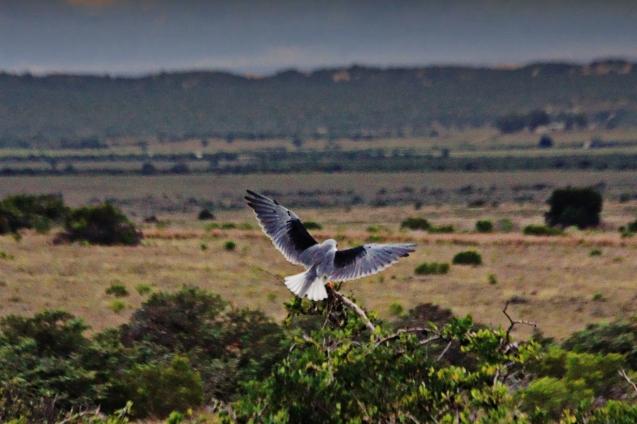 Black shouldered hawk (I think)