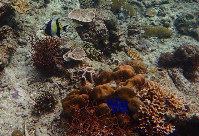 Angel fish and a giant clam