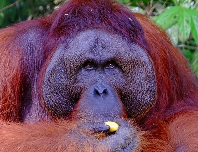 Old male orangutan