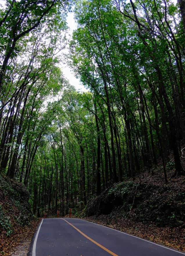 Bohol, man made forest