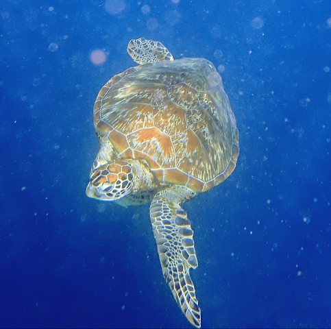 Green turtle Bohol