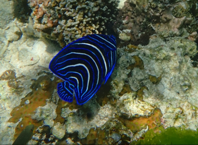 blue fish in Bohol