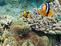 Clownfish are very curious and keep checking me out