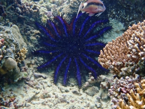 Blue sea star. Nobody likes them as they eat coral.
