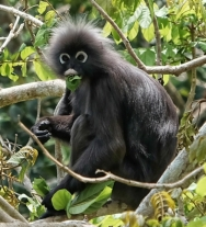 Dusky leaf monkey, Penang Hill