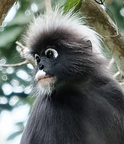 Dusky leaf monkey, Penang Hill