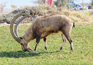 Opportunist ibex