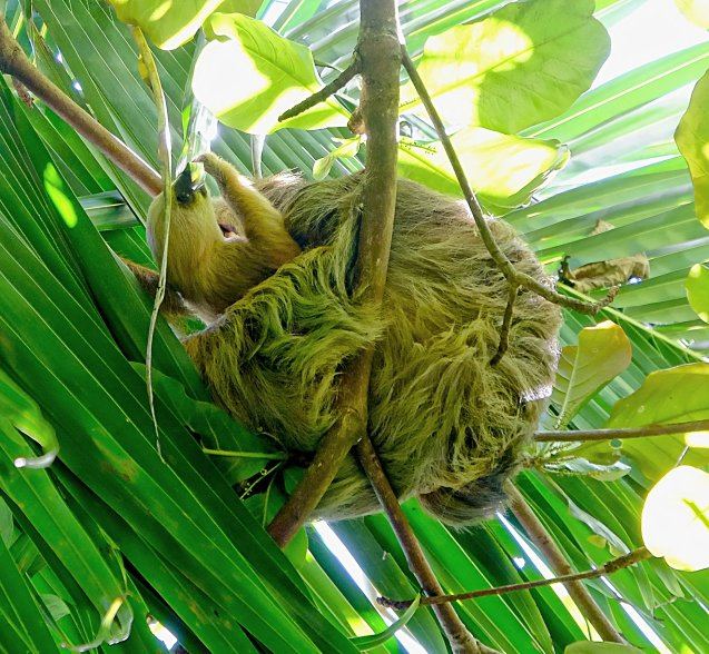 Sloth and baby in Cahuita National park