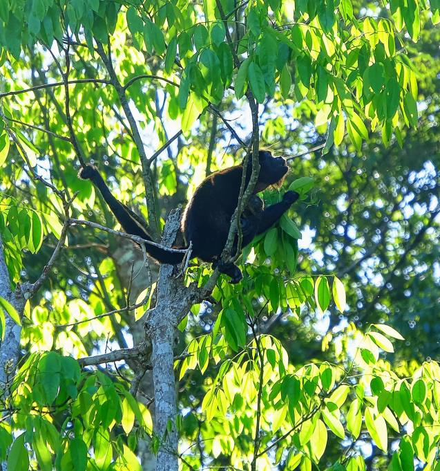 Howler monkey in Cahuita national park